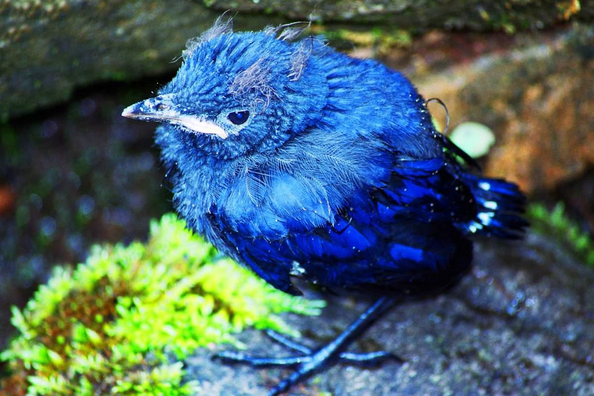 16. Птенчик синей птицы.