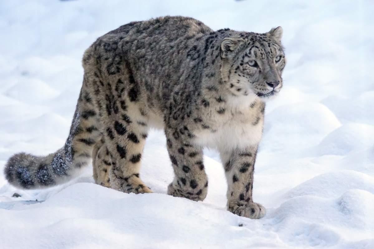 snow-leopard-1972724